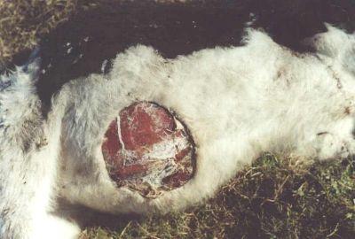 Type de mutilation sur une vache en Argentine